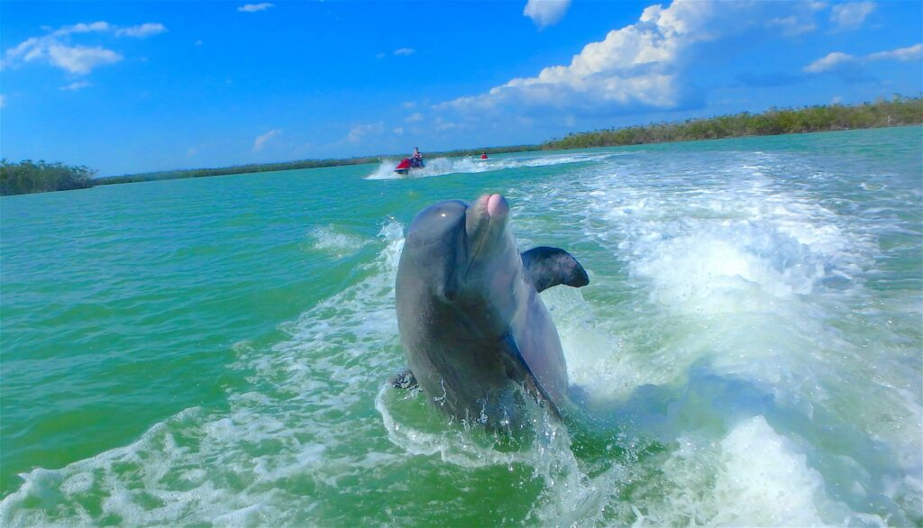Dolphin in Gulf of Mexico